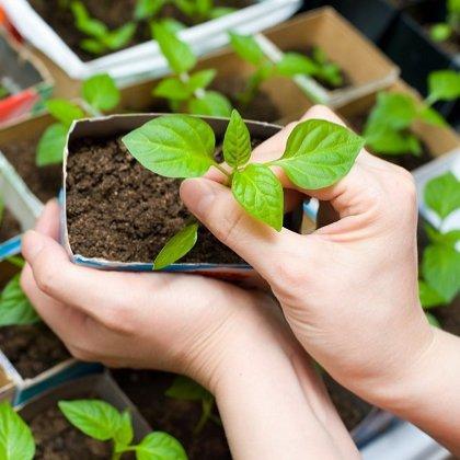 Как садить рассаду перца по лунному календарю?