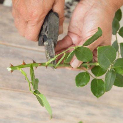 Как правильно черенковать розы ?