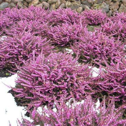 Как вырастить из семян цветы многолетние?