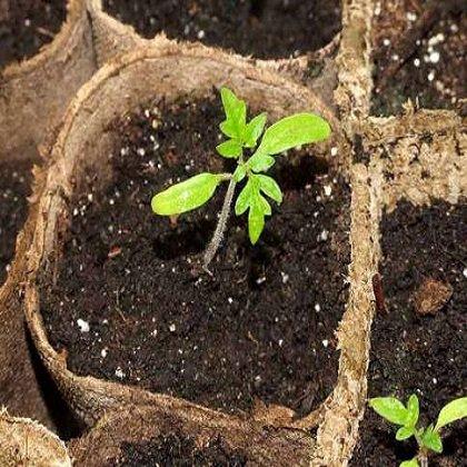 Как ускорить рост перца весной?