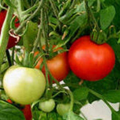 Как правильно поливать помидоры?