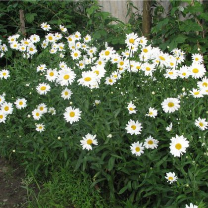 Как вырастить ромашки на дачном участке?