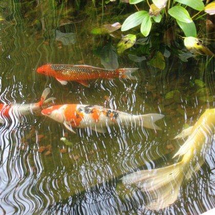Пруд с рыбами видео
