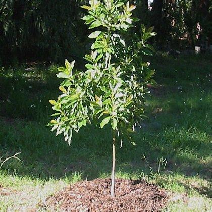 Посадить авокадо правильно