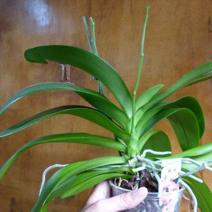 Как выглядит цветонос у орхидеи?