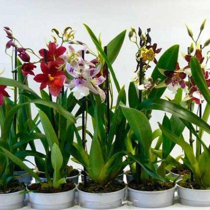 Как выбрать орхидею?