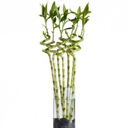 Как ухаживать за декоративным бамбуком?