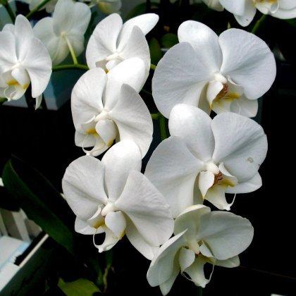 Белые цветы как называются