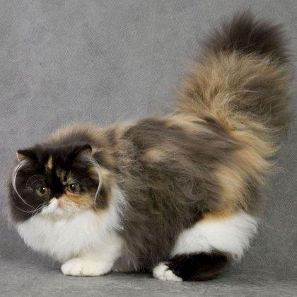Вязка персидских кошек
