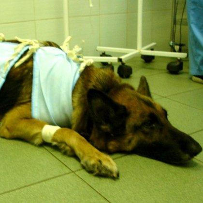 Чем кормить собаку после операции?