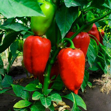Как вырастить хороший урожай перца?
