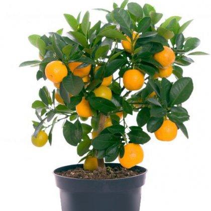 Как вырастить мандарин из косточки: особенности, рекомендации