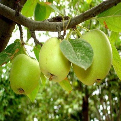 Как вырастить саженец яблони, посадка саженцев яблони