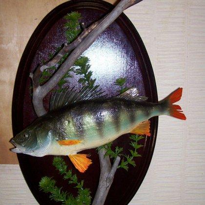 Чучело рыбы своими руками фото 659