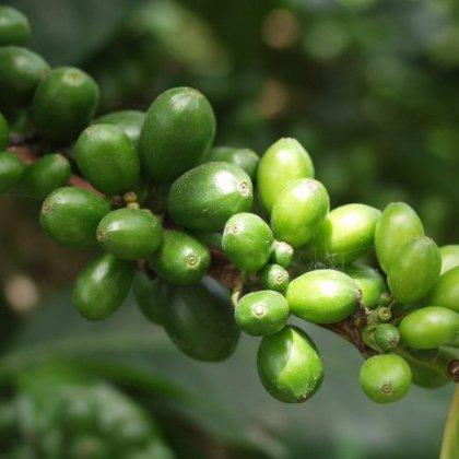 Купить зеленый кофе в Витебске - это просто!