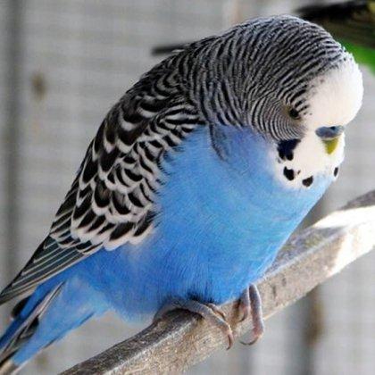 Как назвать попугая мальчика?