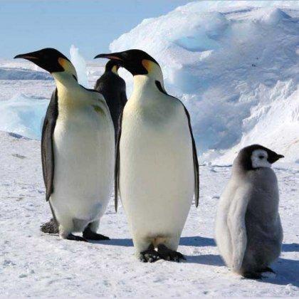 Как ходят пингвины: информация для любознательных