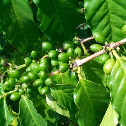 Эффективность зеленого кофе: 4 года исследований