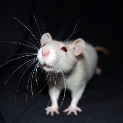 Как отличить мышь от крысы?