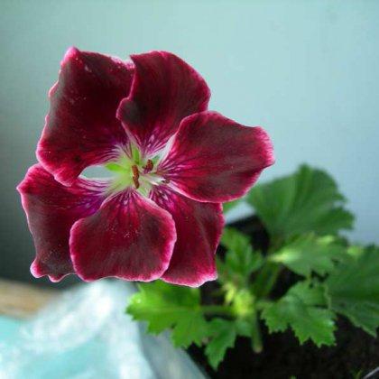 Посадка пеларгонии семенами