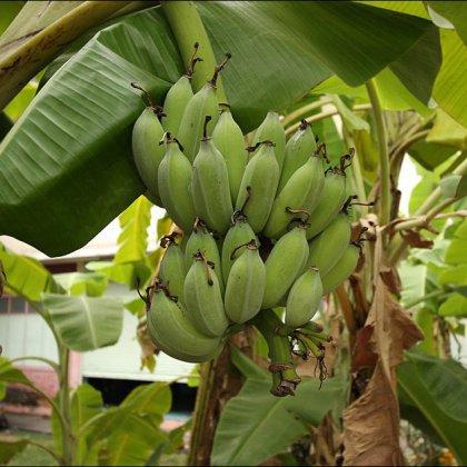 Как ухаживать за бананом?