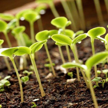 Как удобрять комнатные растения золой?