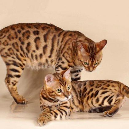 Вязка, разведение бенгальских кошек