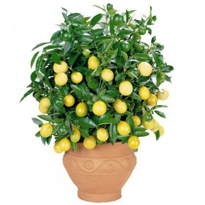 Как вырастить лимон в квартире?